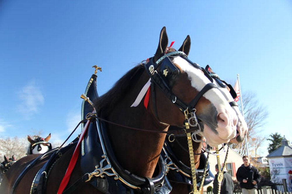 Last appearing at the Fair in 2005, the Budweiser Clydesdales are making a long-awaited return to the great State Fair of Texas.
