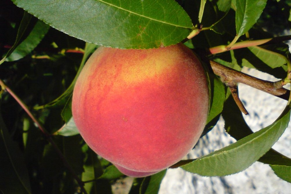Parker County Peach Festival Offers Fresh Treats