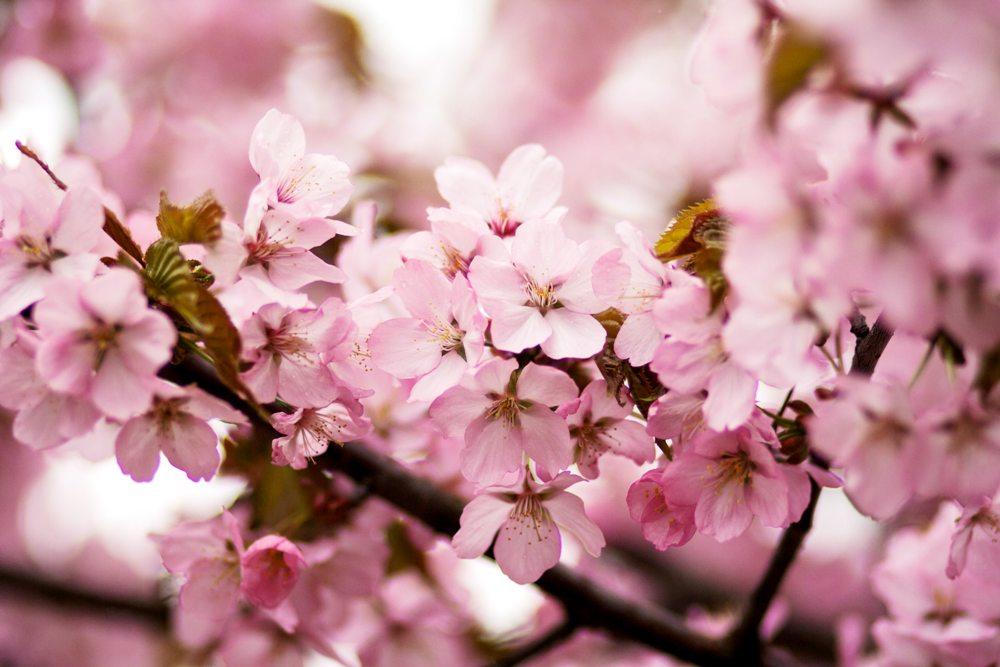 Cherry Blossom Festival 2020 Macon Ga.Discover The International Cherry Blossom Festival In Macon Ga